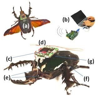 pentagon's cyborg beetle spies take off
