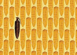 13m acres of GMO corn illegally planted in US