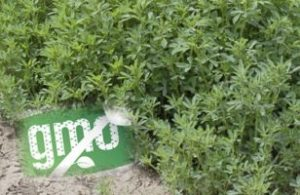 Reports Suggest White House Pressured Vilsack to Approve GM Alfalfa