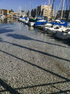 Millions of Dead Anchovies Float to Surface on Redondo Beach